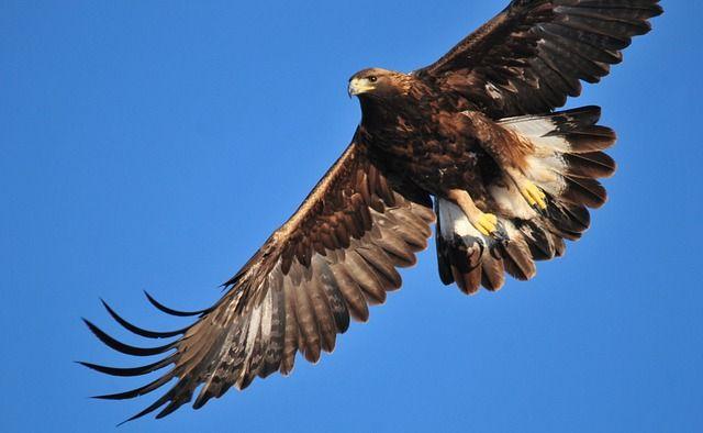 golden eagles, vedere gli animali in scozia