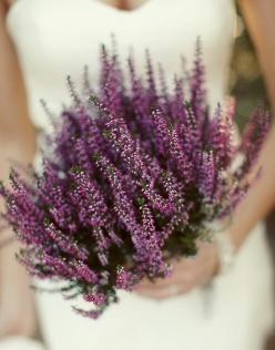 heather-il-leggendario-fiore-di-scozia