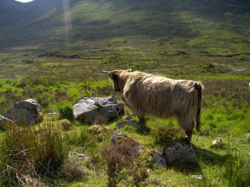 mucche pelose, cosa vedere sull'Isola di Skye
