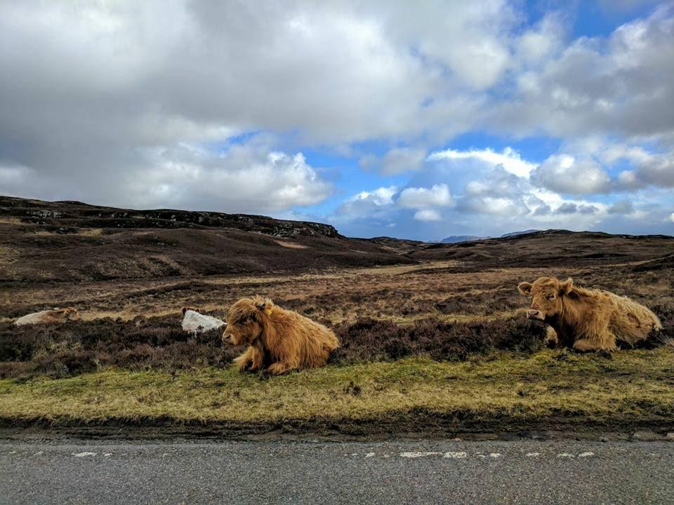 mucche sulla strada