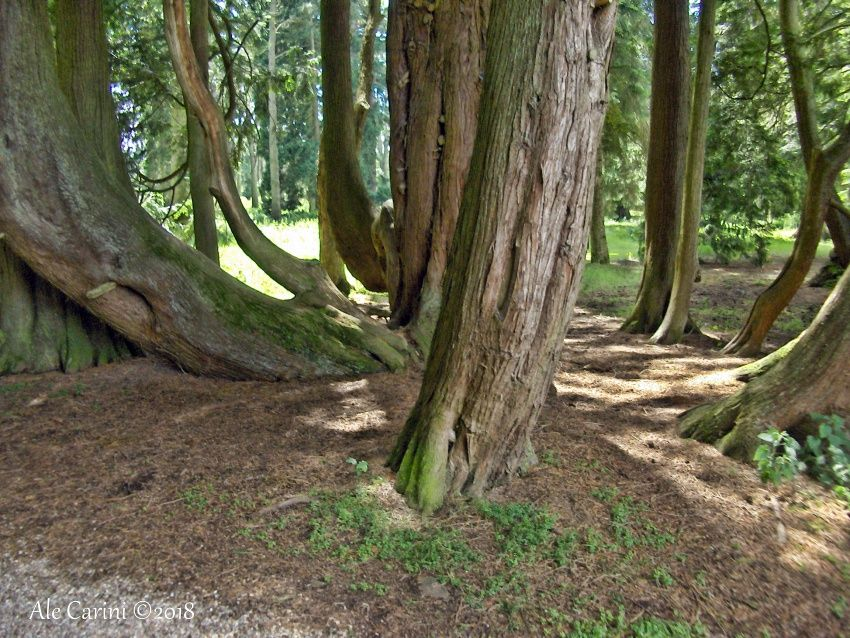 glamis castle, tronchi, alberi