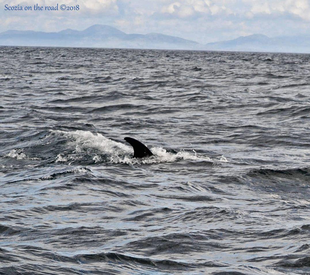 animali balena