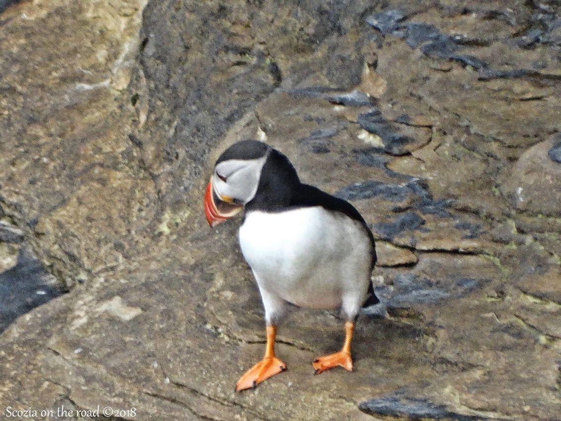 Scozia: Animali Fantastici e dove trovarli - dove vedere i puffin in scozia
