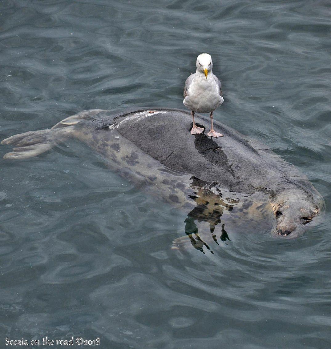 foche, animali fantastici scozia