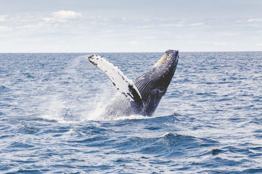 balene e orche in scozia, che animali ci sono in scozia, fauna scozzese