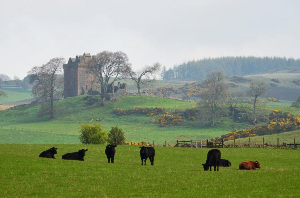 black angus, bovini scozzesi, animali in scozia