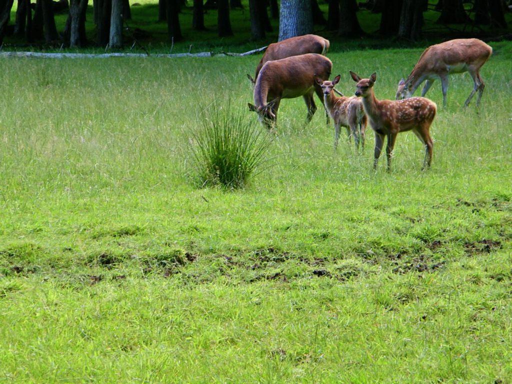 dove vedere gli animali in scozia, cervi e cerbiatti in scozia