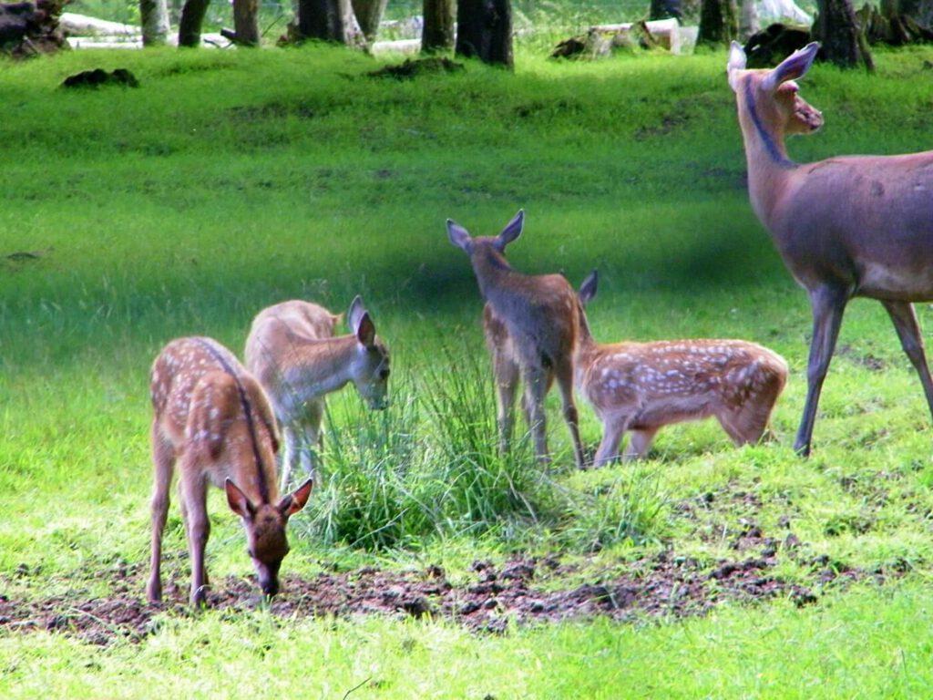 fauna scozzese, che animali si vedono in scozia, vedere i cervi