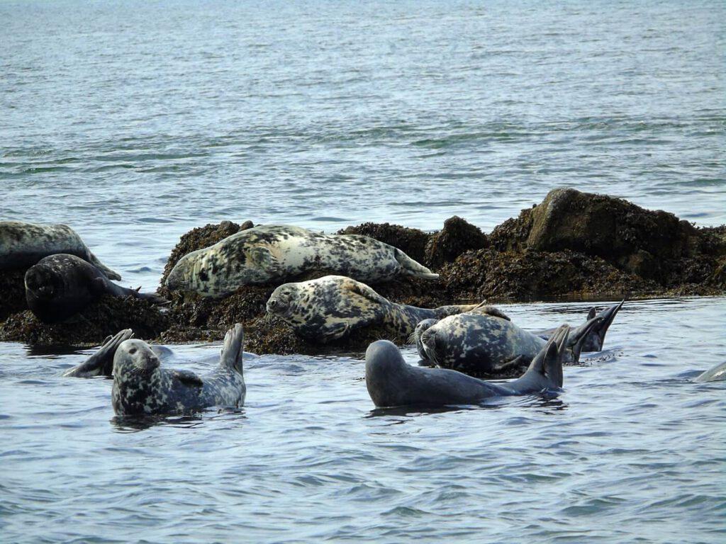 vedere gli animali in scozia, avvistare le foche in scozia