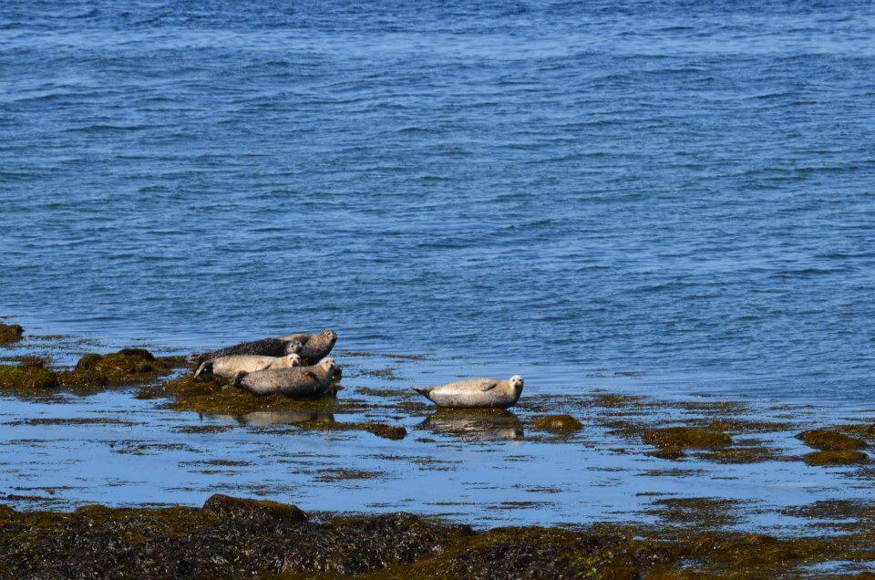 dove vedere le foche in scozia
