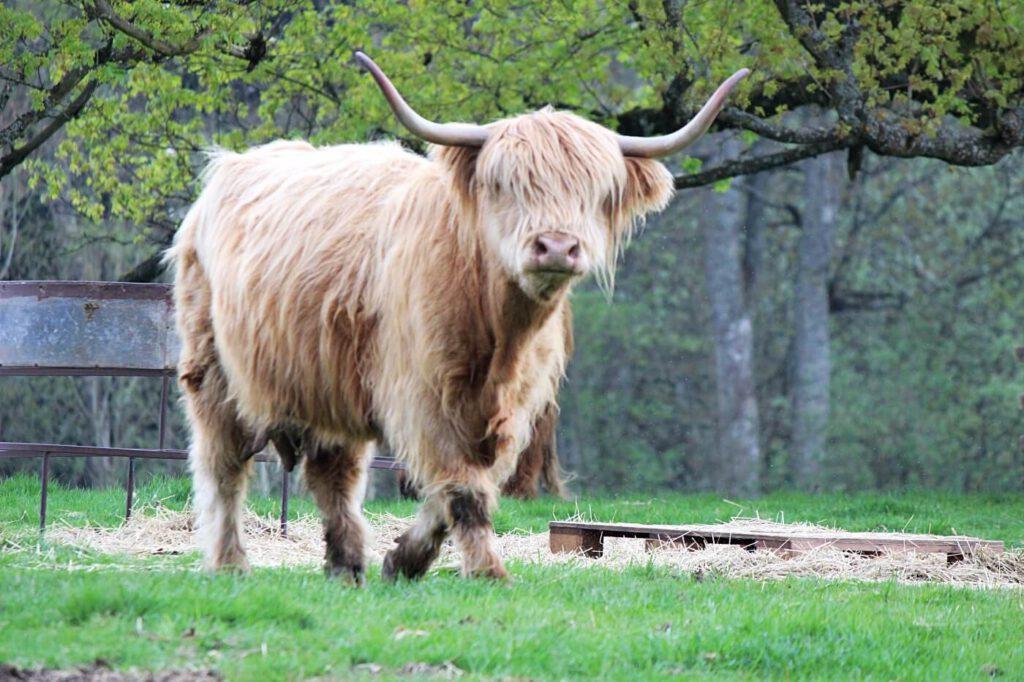 vedere gli animali in scozia, highland cows