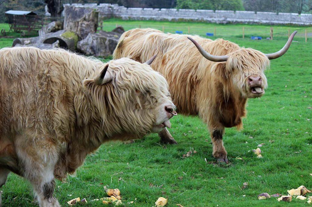 higland cows in scozia, animali in scozia, vedere le mucche capellone in scozia