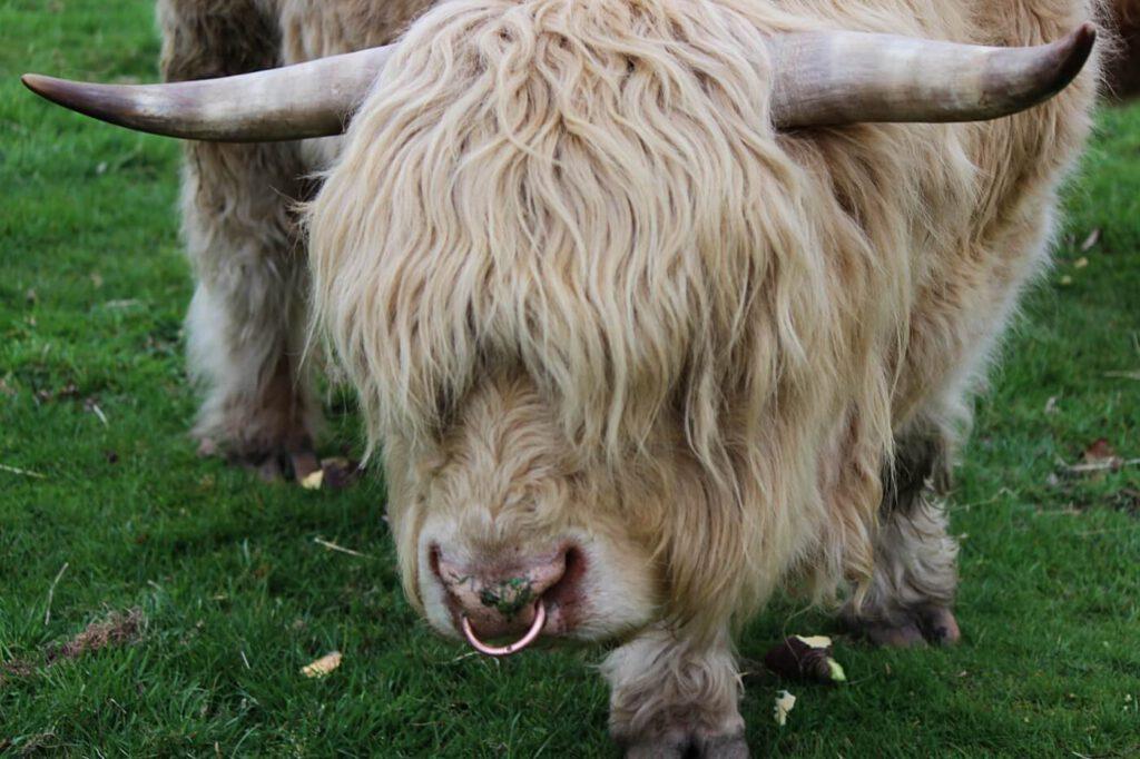 highland cows, vedere gli animali in scozia, che animali ci sono in scozia