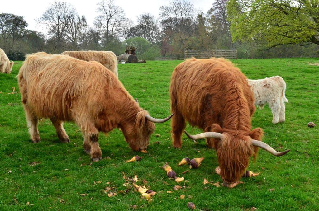 highland cows, mucche capellone in scozia