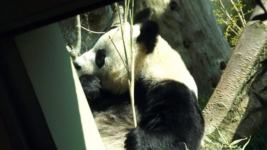 vedere animali in scozia, panda in scozia