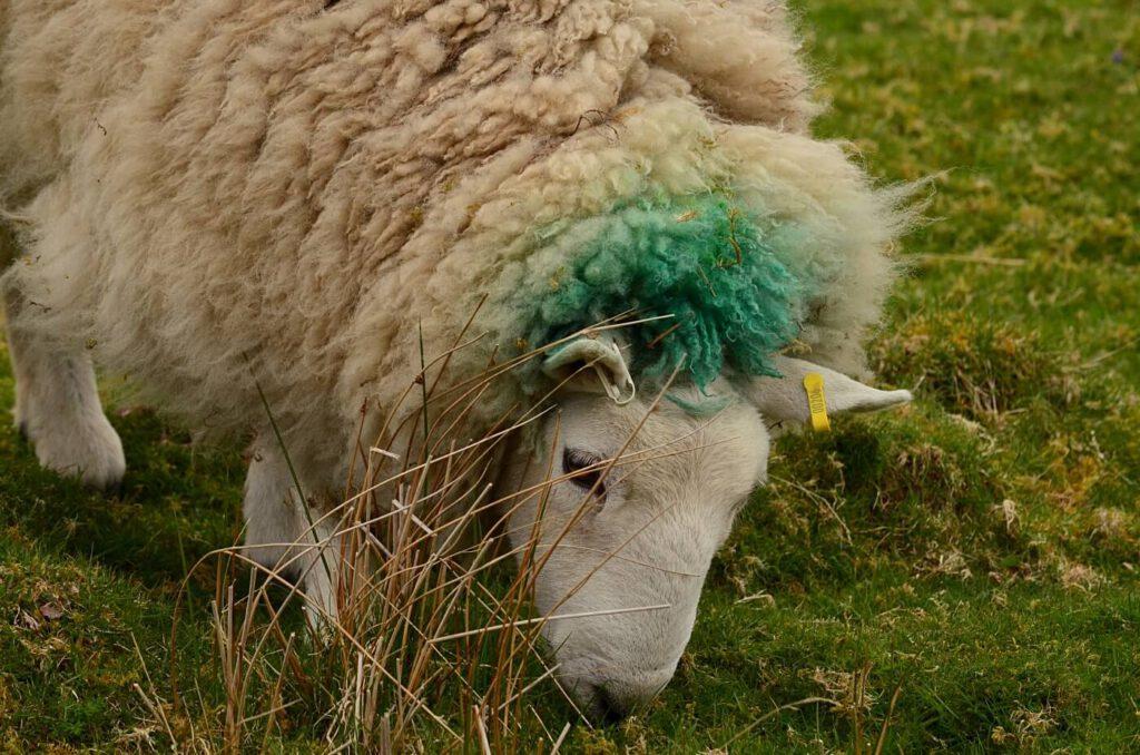 vedere gli animali in scozia, vedere le pecore