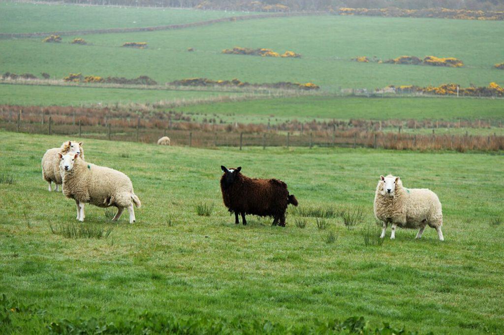 dove vedere le pecore in scozia