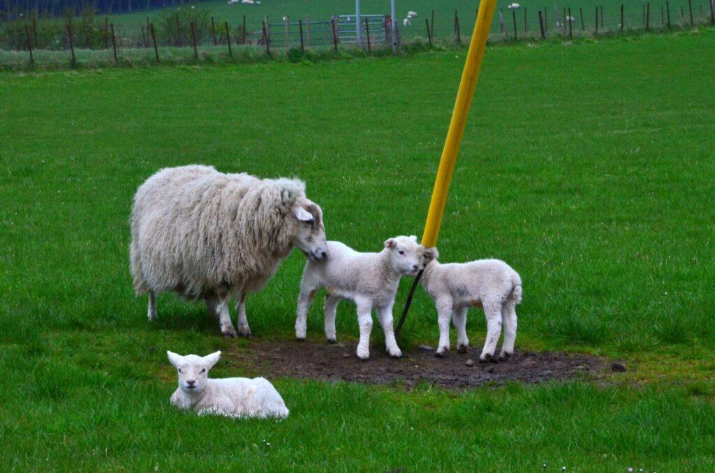 dove vedere pecore e agnelli in scozia