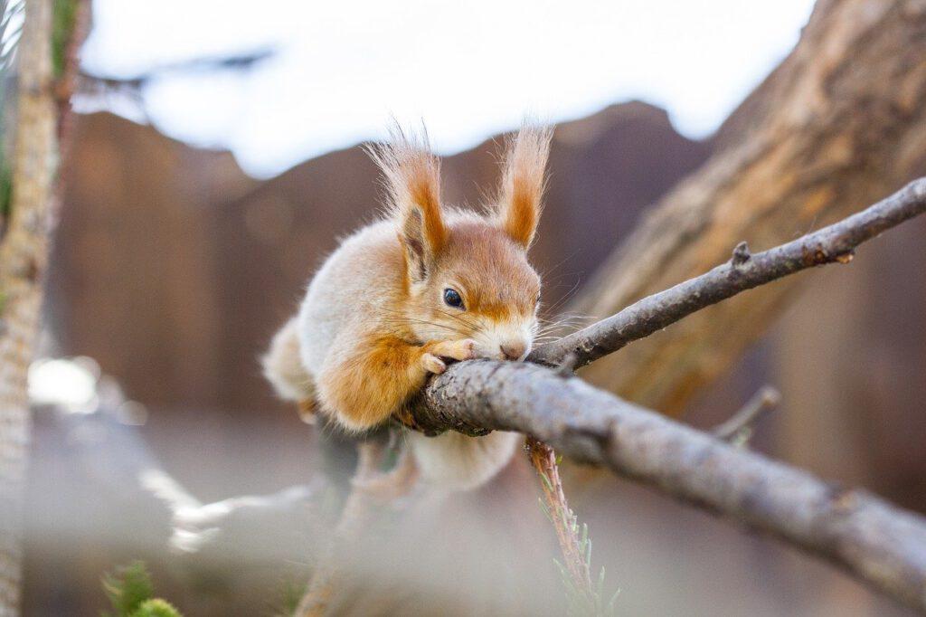 dove vedere gli scoiattoli in scozia, red squirrels, che animali ci sono in scozia